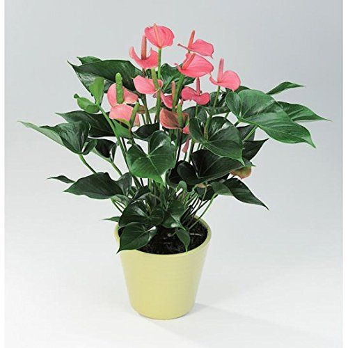 Buy Poudha Com Anthurium Pink Outdoor Pink Flowering Plant Online At Low Prices In India Amazon In Anthurium Plants Planting Flowers