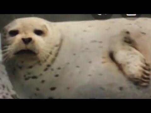 Hey Siri How Do You Say Seal In French Meme Youtube French Meme Funny Pictures Funny