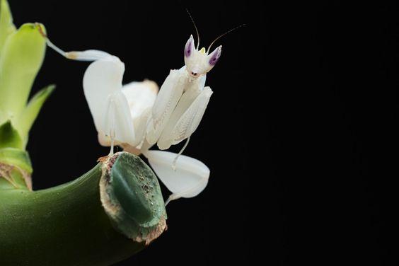 white mantis beauty Google Search Khaos Pinterest