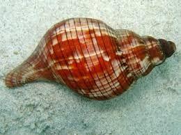 Tulip shell