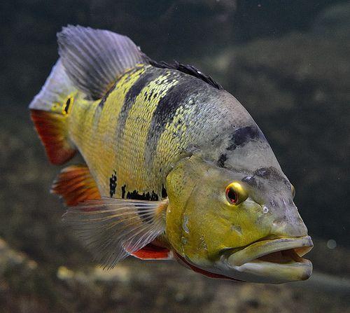 Best 25 Peacock Bass Ideas On Pinterest