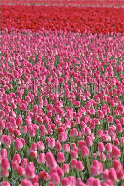 Usa, Washington, Skagit Valley, Tulip Fields