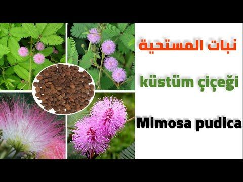 زراعة بذور نبات المستحية 1 Youtube Plants Mimosa