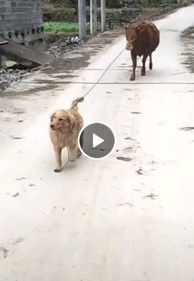 A vaca obediente seguindo seu mestre cão