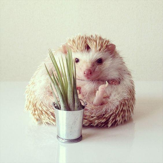 Hedgehog 2 おしゃれまとめの人気アイデア Pinterest Mijika 可愛すぎる動物 動物 ペット