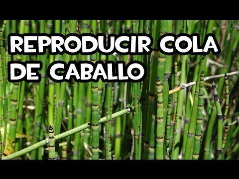 Como Reproducir Cola De Caballo División De Matas Youtube Cola De Caballo Planta Cola De Caballo Plantas En Maceta