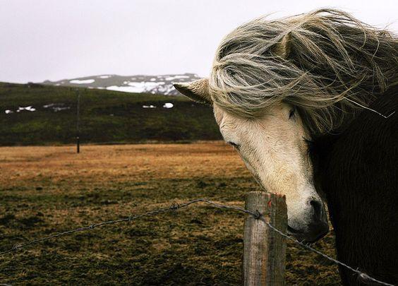 icelandic horse by farrell anna, via Flickr