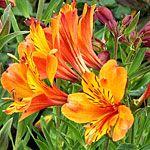 Alstroemeria (Peruvian lily) -  From sunset garden's list of 20  favorite perennials