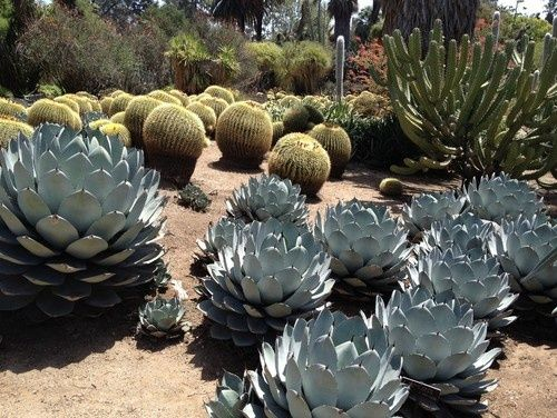 Must have agaves