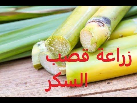 قصب سكر طرق تكاثر ورعاية المنزلية لقصب Saccharum حلقة 25 Vegetables Cucumber Celery