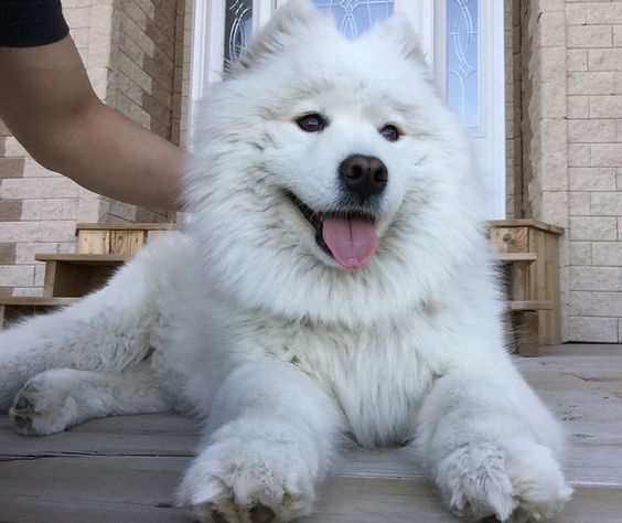 Cute fluffy majestic overly attached Samoyed dog with beautiful paws