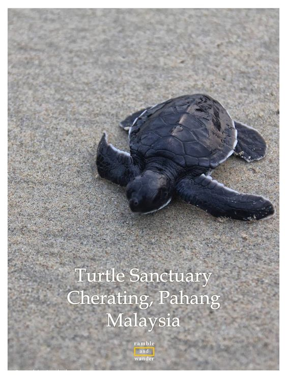 If you're travelling to the East coast of Peninsular Malaysia for the beach & its many beautiful islands, do check out one of the few turtle sanctuaries along the coastline. Click through for story & tips, photos & video, as well as contact details | http://www.rambleandwander.com/2013/10/malaysia-turtle-sanctuary-in-cherating.html