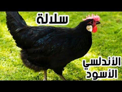 تربية الدجاج البلدي البياض دجاج الاندلسي الاسود البياض Youtube Rooster