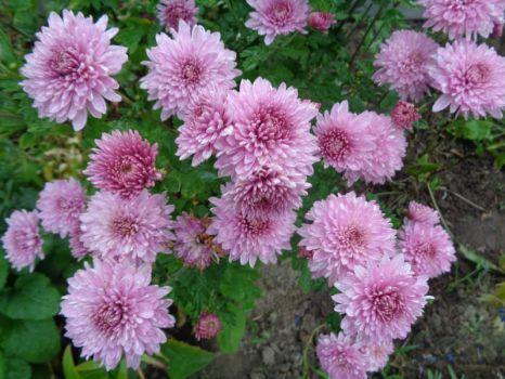 Chryzantéma    (Chrysanthemum) (12 pieces)