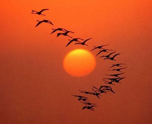 Geese flying into the sunset.: