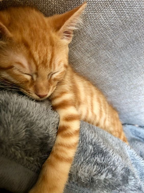 Cat Facts Why Orange Cats Are Usually Male Orange Tabby Cats