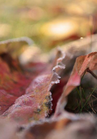 Frosty Leaves: Leaves Autumn, Frosty Leaves, Leaves Leaving, 403 577, 102 Texture, Autumn Abundance
