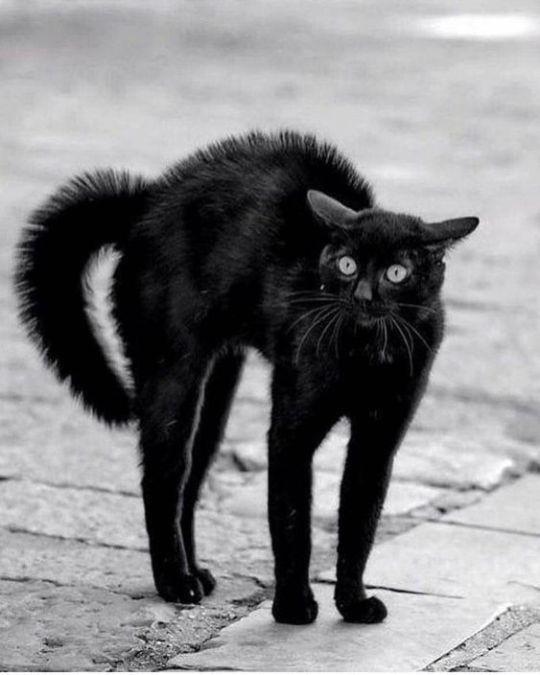Картинки по запросу черный кот смешные фото