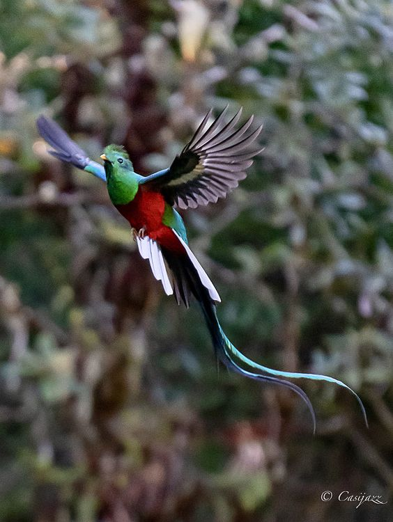 quetzal flapping its wings open