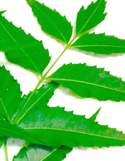 las hojas de neem sirven para adelgazar