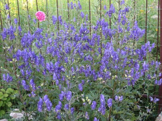 Аконит или Борец (Aconitum) - Цветочный форум: