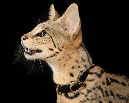 Savannah Cat Head Gatos Serval Gatos Atigrados Felino