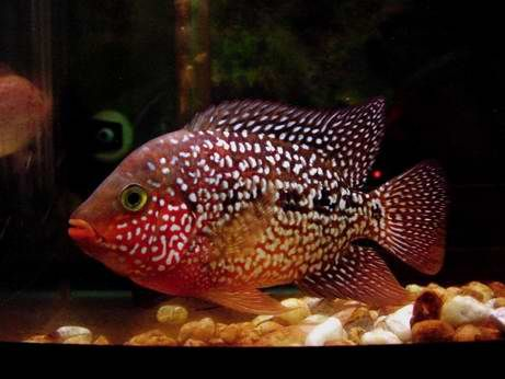 Red texas cichlid love this fish i have 1 with all for Texas freshwater fish