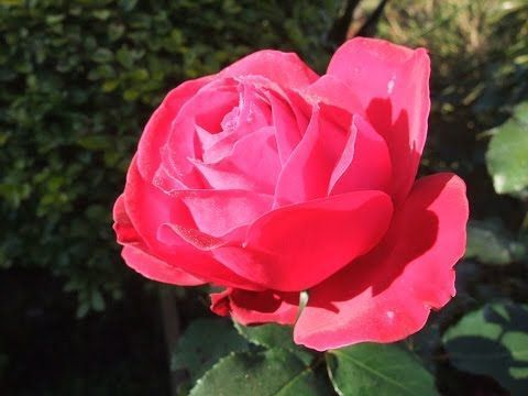 136 How To Prune A Rose Bush To Encourage More Blooms Youtube Rose Bush Rose Plant Care Rose Garden Design
