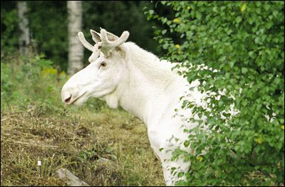 White Moose are very rare but they do exist in some parts of Sweden. www.wildsweden.com  #sweden #wildlife #animals