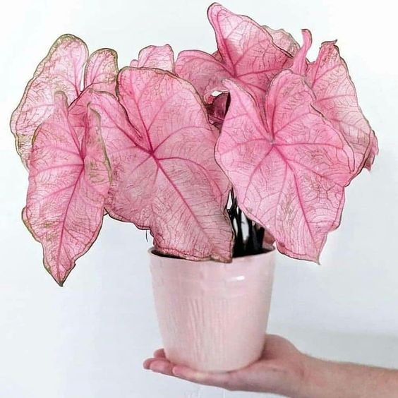 Caladium - 10 Pink Indoor House Plants