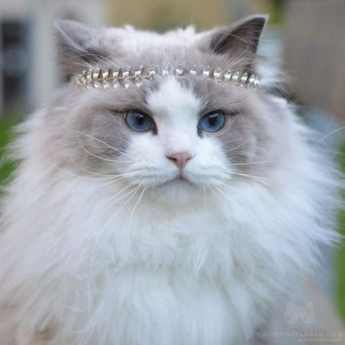 Pin By Violet On Cat Lady Diven Unter Sich Cute Cat Memes Gorgeous Cats Sassy Cat