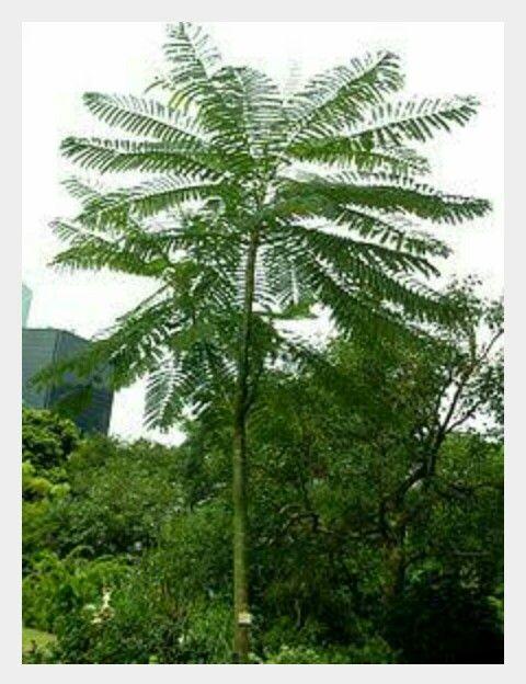 Solobium exotic plant