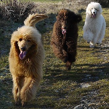Here come the poodles.