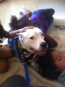 Baby - Love-a-Bull Pit Crew Therapy Dogs, Austin Texas