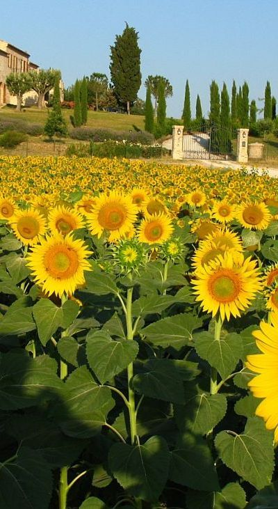 Sunflowers---I hope ours get half as big as these...
