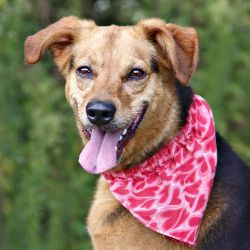 3815 Barock is an adoptable German Shepherd Dog Dog in Isle of Wight, VA. This boy is sweet, loving and walks well on the leash. What more can you ask for? Stop by and meet your new best friend today!...