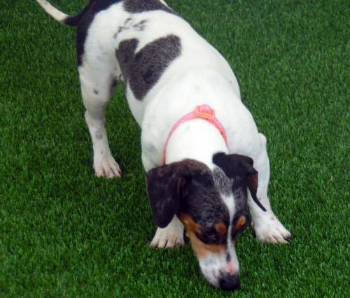 Cora In Nc S Web Page Dachshund Adoption Dachshund Pet Adoption