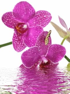 Орхидеи - анимация на телефон №1337849