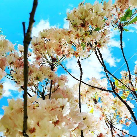 Live Last Of The Spring Blossom Blossom Flowers Flower Flores Spring Springtime Australia Travel Wanderlust Li Spring Blossom Spring Flowers Flowers