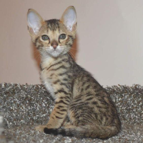 Pin About Savannah Kitten And Savannah Kittens For Sale On