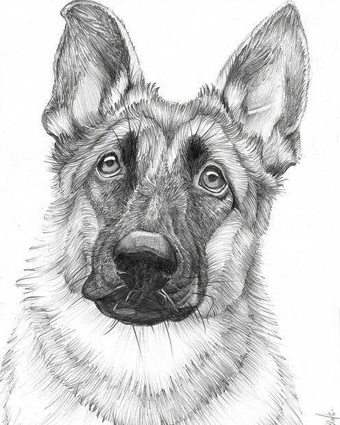 Dog GERMAN SHEPHERD Pencil Drawing Print A3 A4 sizes pet portrait art
