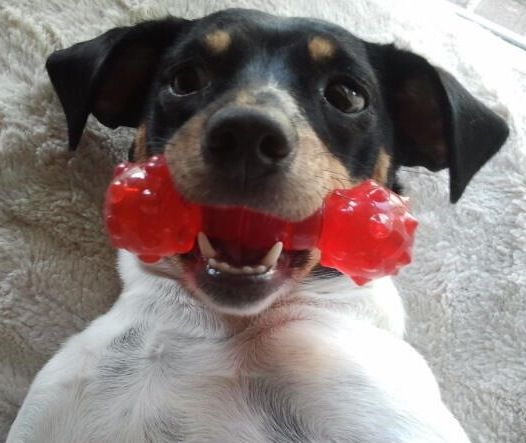 Rat terrier-Molly luv!!looks like Hollie...except Hollie wouldve destroyed the red toy