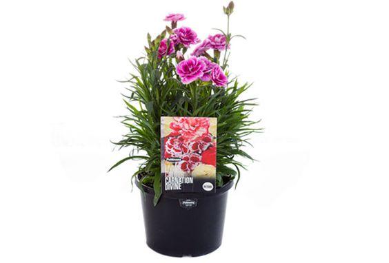 Carnation #pohlmansnursery #livingcolour #gardening #australia