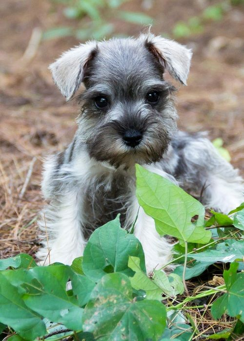 Miniature Schnauzer Puppies For Sale Atlanta Ga Miniature Schnauzer Puppies Mini Schnauzer Puppies Schnauzer Puppy