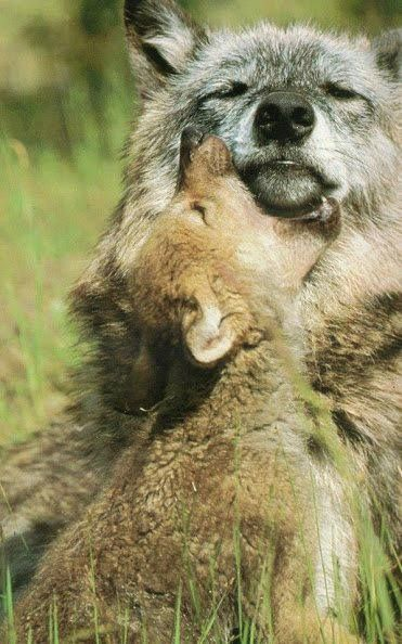 Grey #wolves Ahhhhh... mother's patience... <3                              …