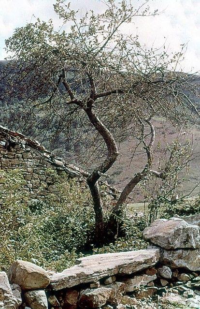 Garabandal apple tree 1   Color photograph taken between 196…   Flickr