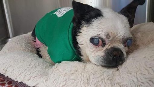 Special Needs Blind New York Ny Boston Terrier Meet Dorothea A Dog For Adoption This Precious Senior Is Blin Kitten Adoption Pets Boston Terrier Rescue
