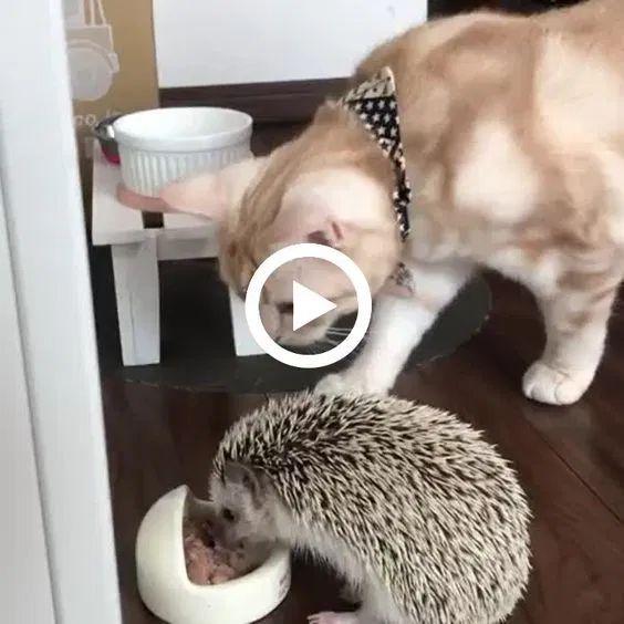 o gato quer comer a comida desse porco espinho