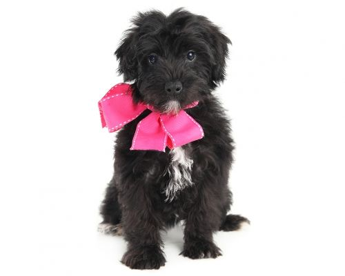 This Is Lilac Pink She S An Available Teddy Bear Schnoodle By Smeraglia Click The Link For More Info And To See Her Cute Picture Schnoodle Teddy Bear Teddy
