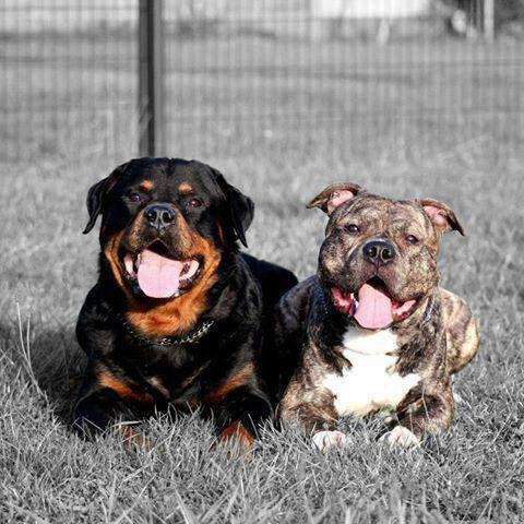 rottweiler amp pitbull beautiful dogs i love pinterest